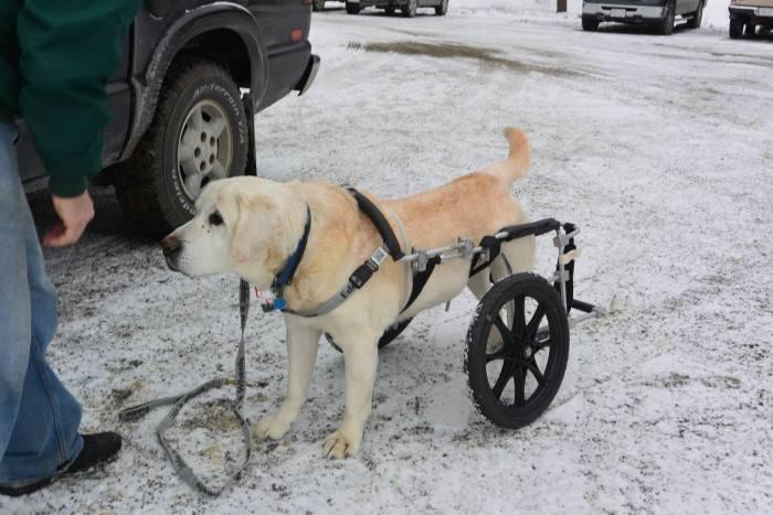 Estes cães em cadeiras de rodas são a coisa mais fofa (3)