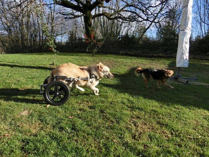 Estes cães em cadeiras de rodas são a coisa mais fofa (6)