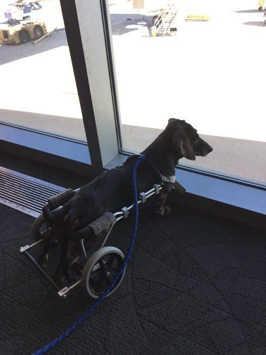 Estes cães em cadeiras de rodas são a coisa mais fofa (7)