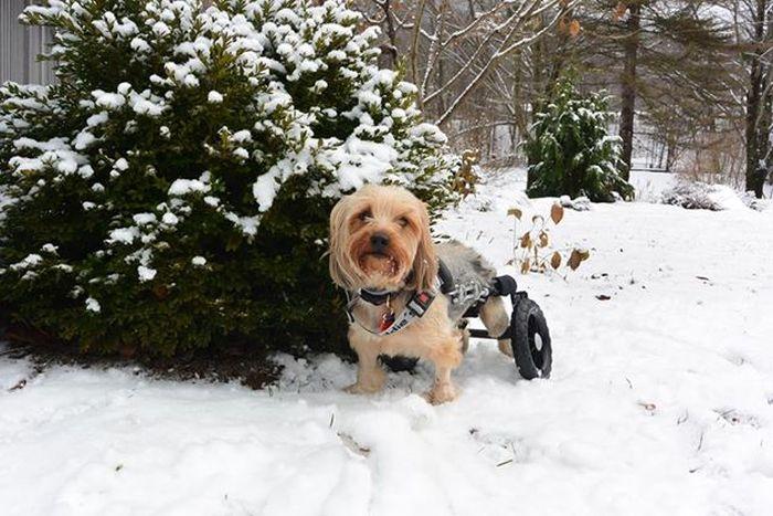 Estes cães em cadeiras de rodas são a coisa mais fofa (9)