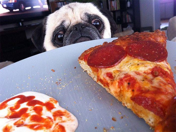 Onde tem comida tem Pug (1)