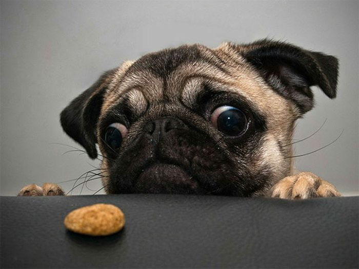 Onde tem comida tem Pug