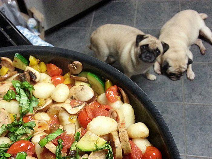 Onde tem comida tem Pug (2)