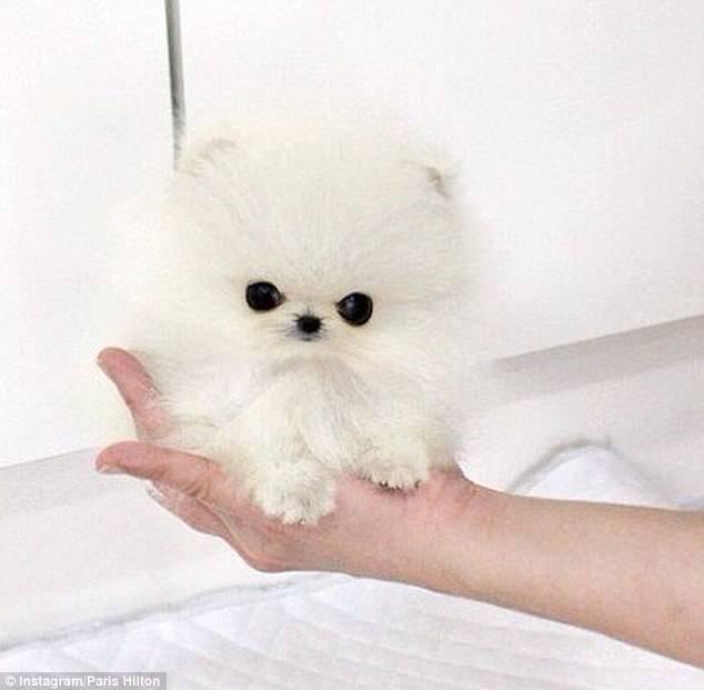Os-menores-e-mais-fofos-cachorrinhos-que-você-verá-hoje (1)