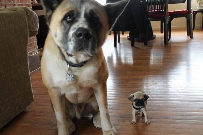 Os-menores-e-mais-fofos-cachorrinhos-que-você-verá-hoje (13)