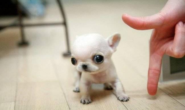 Os-menores-e-mais-fofos-cachorrinhos-que-você-verá-hoje (15)