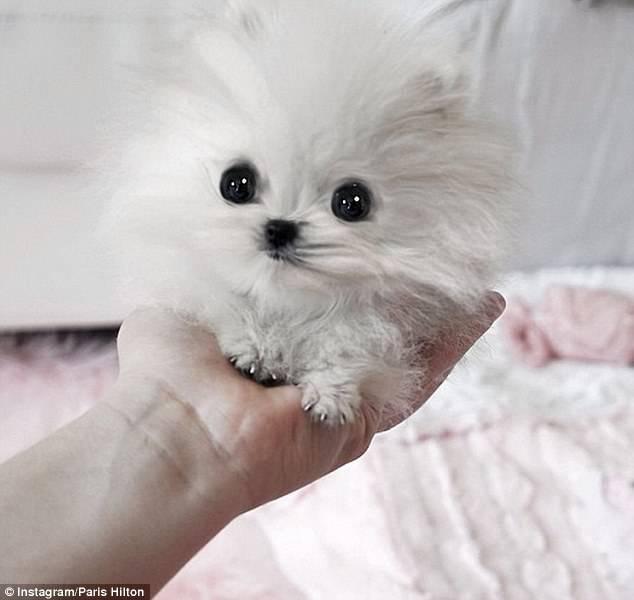 Os-menores-e-mais-fofos-cachorrinhos-que-você-verá-hoje (2)