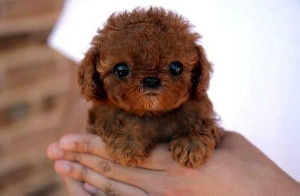 Os-menores-e-mais-fofos-cachorrinhos-que-você-verá-hoje (5)