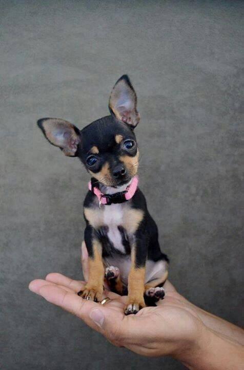 Os-menores-e-mais-fofos-cachorrinhos-que-você-verá-hoje (8)