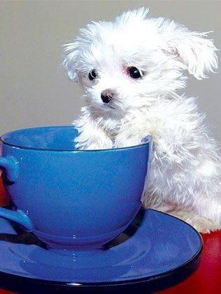 Os-menores-e-mais-fofos-cachorrinhos-que-você-verá-hoje (9)