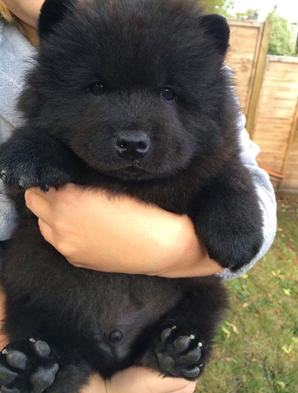 Cachorros que parecem com ursos de pelúcia (1)