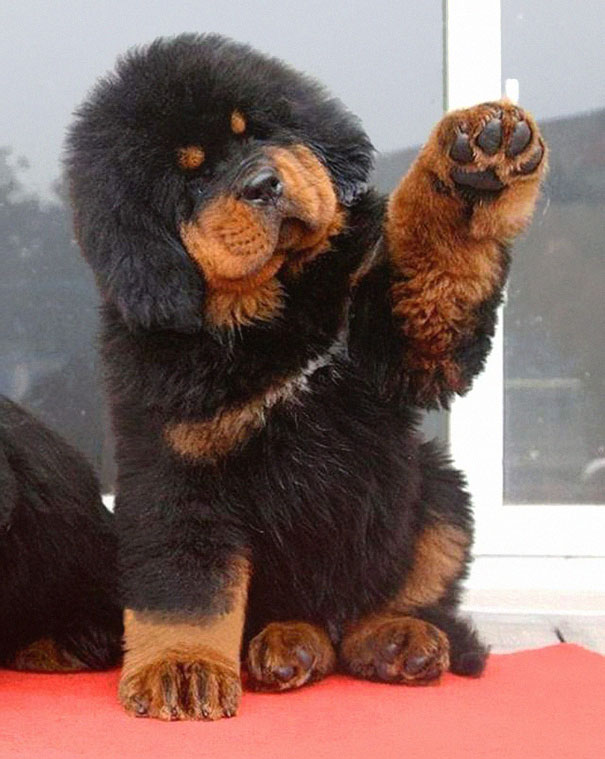 Cachorros que parecem com ursos de pelúcia (10)