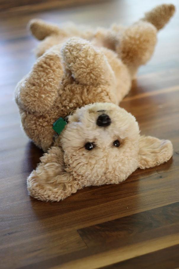 Cachorros que parecem com ursos de pelúcia (14)