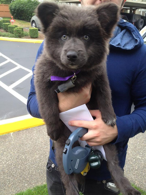 Cachorros que parecem com ursos de pelúcia (15)