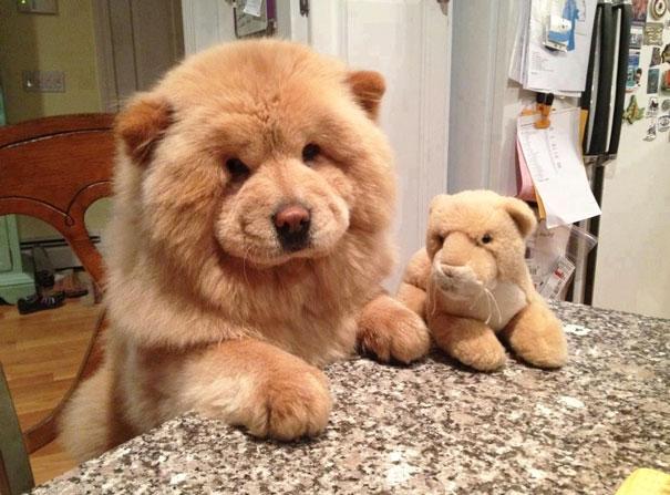 Cachorros que parecem com ursos de pelúcia (16)