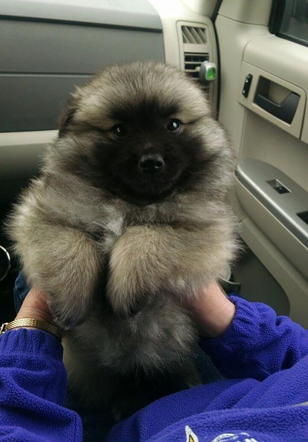 Cachorros que parecem com ursos de pelúcia (2)