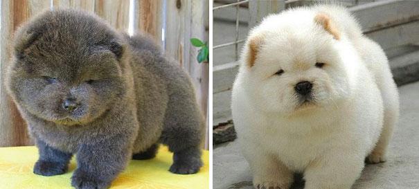 Cachorros que parecem com ursos de pelúcia (3)