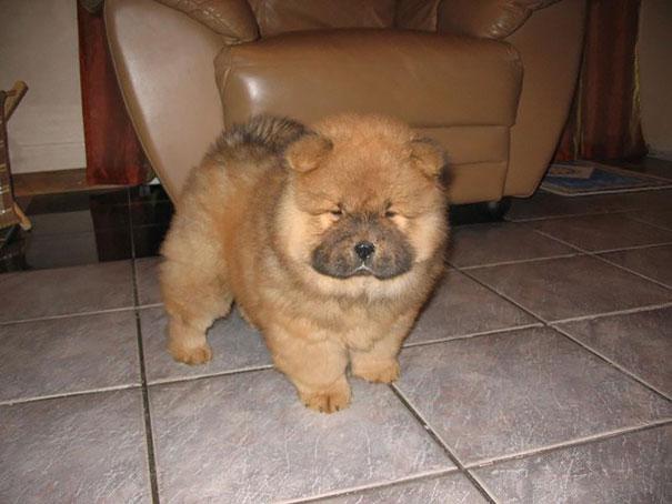 Cachorros que parecem com ursos de pelúcia (4)