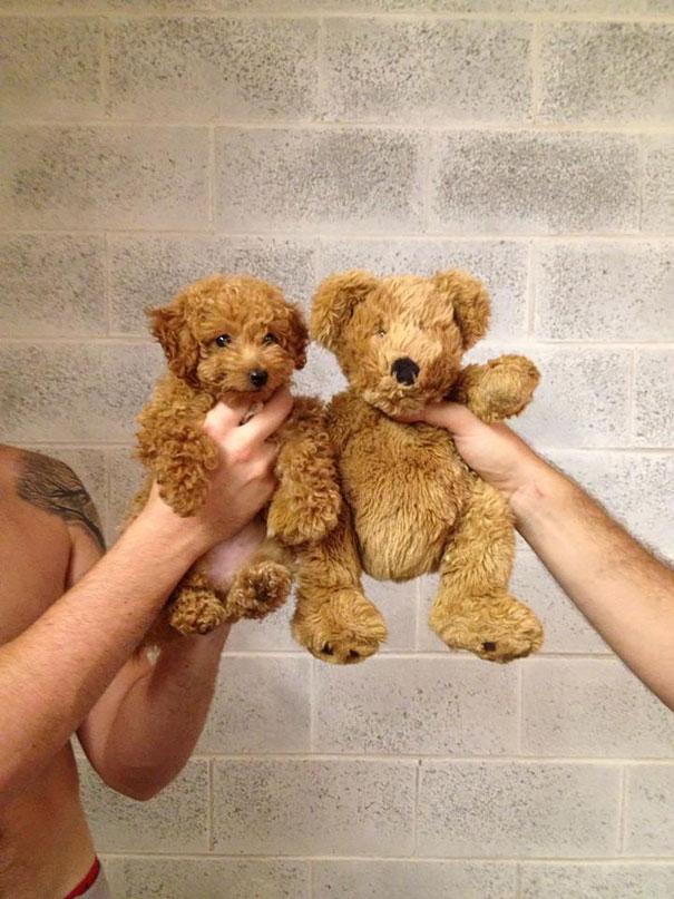 Cachorros que parecem com ursos de pelúcia (5)