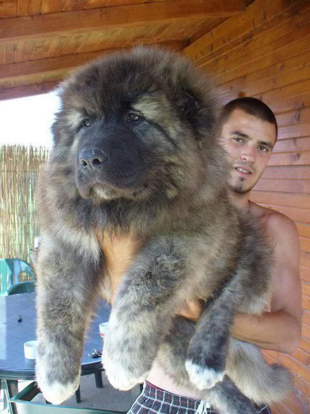 Cachorros que parecem com ursos de pelúcia (6)