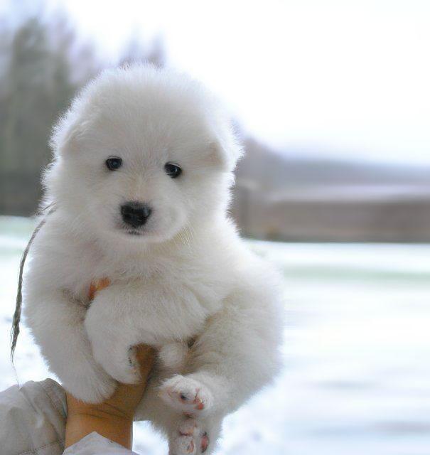 Cachorros que parecem com ursos de pelúcia (9)