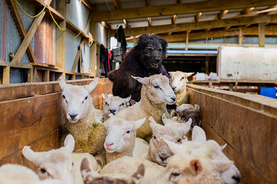Fotógrafo tira fotos de cães trabalhando duro (1)