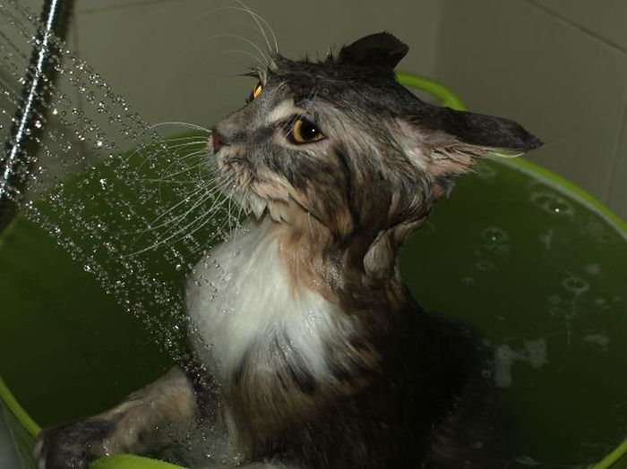Gatos-que-adoram-água (3)