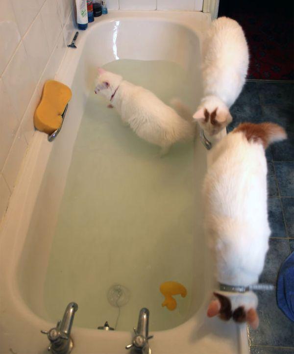 Gatos-que-adoram-água (9)