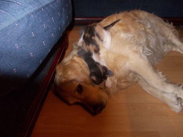Gatos-que-usam-Cães-como-almofadas (10)