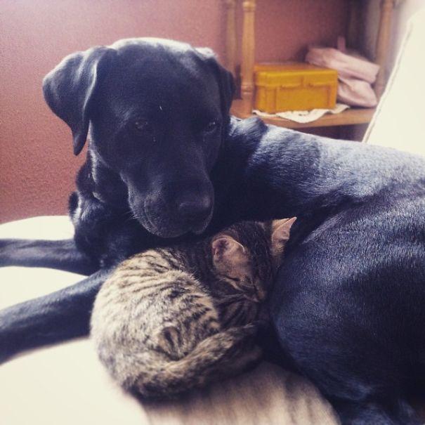 Gatos-que-usam-Cães-como-almofadas (12)