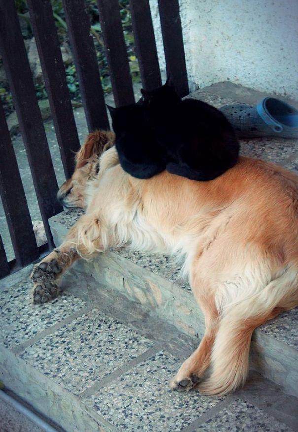 Gatos-que-usam-Cães-como-almofadas (13)