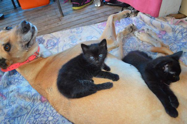 Gatos-que-usam-Cães-como-almofadas (14)