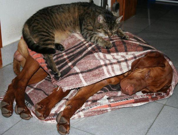 Gatos-que-usam-Cães-como-almofadas (16)