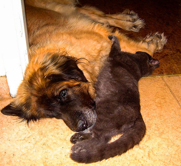 Gatos-que-usam-Cães-como-almofadas (17)