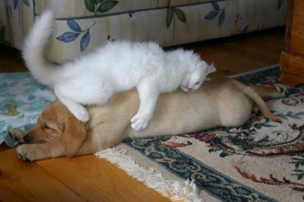 Gatos-que-usam-Cães-como-almofadas (18)