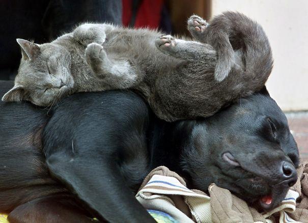 Gatos-que-usam-Cães-como-almofadas (19)