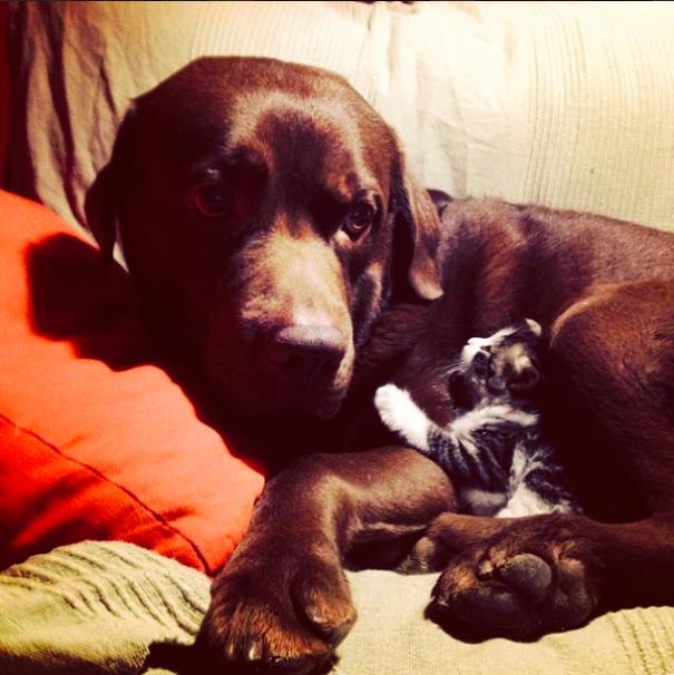 Gatos-que-usam-Cães-como-almofadas (2)