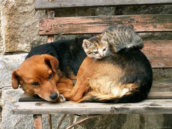Gatos-que-usam-Cães-como-almofadas (20)