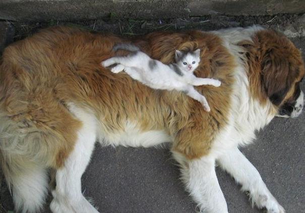 Gatos-que-usam-Cães-como-almofadas (21)