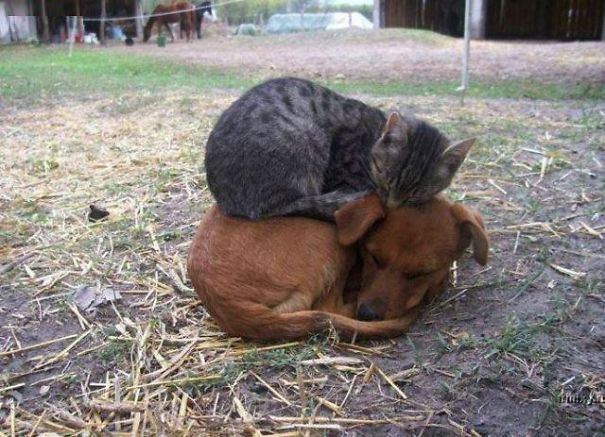 Gatos-que-usam-Cães-como-almofadas (22)