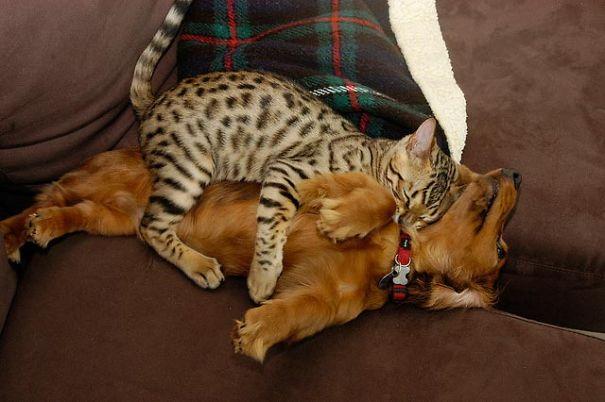 Gatos-que-usam-Cães-como-almofadas (23)