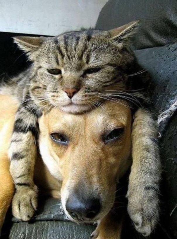 Gatos-que-usam-Cães-como-almofadas (24)