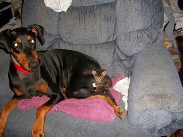 Gatos-que-usam-Cães-como-almofadas (26)
