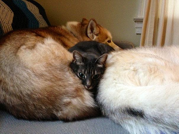 Gatos-que-usam-Cães-como-almofadas (27)