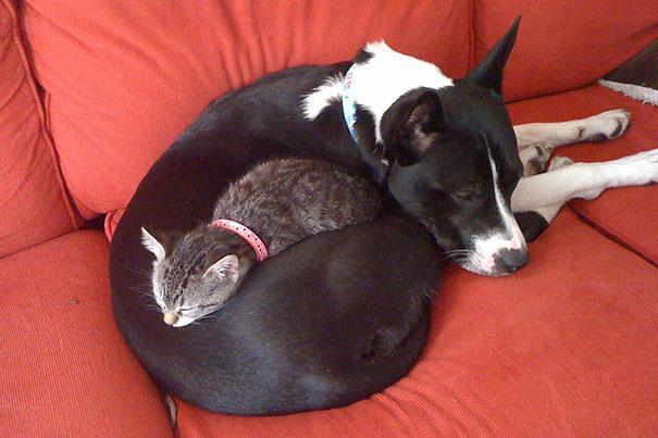 Gatos-que-usam-Cães-como-almofadas (28)