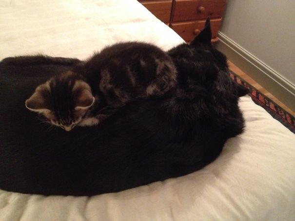 Gatos-que-usam-Cães-como-almofadas (3)