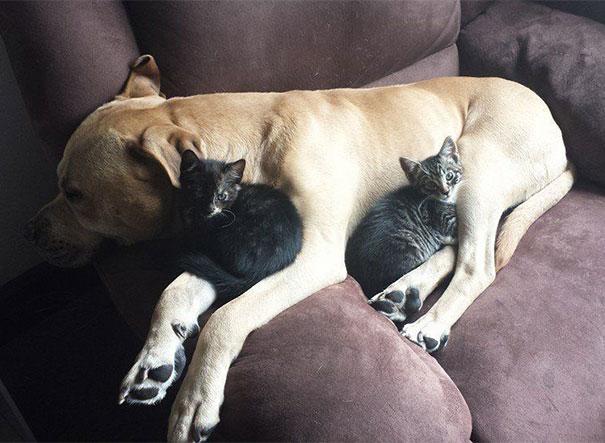 Gatos-que-usam-Cães-como-almofadas (30)