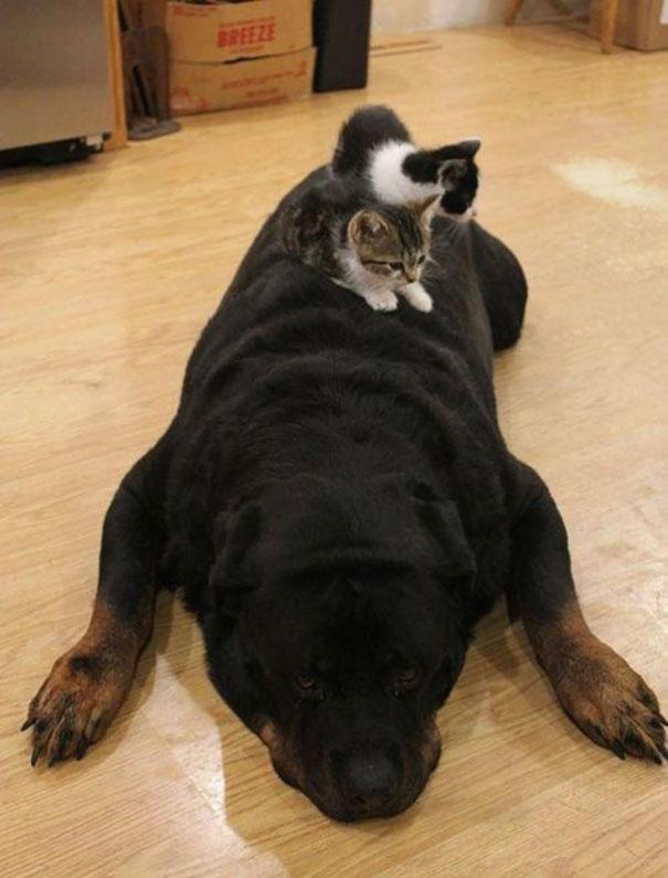 Gatos-que-usam-Cães-como-almofadas (32)