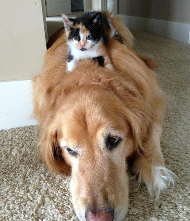 Gatos-que-usam-Cães-como-almofadas (33)