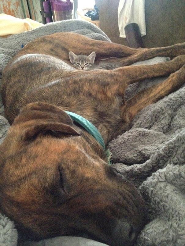 Gatos-que-usam-Cães-como-almofadas (34)